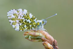 The orange tip - Anthocharis cardamines. A butterfly, the orange tip - Anthocharis cardamines Royalty Free Stock Photography