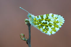 The orange tip - Anthocharis cardamines Royalty Free Stock Image