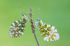The orange tip - Anthocharis cardamines. A butterfly, the orange tip - Anthocharis cardamines Royalty Free Stock Images