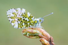 The orange tip - Anthocharis cardamines. A butterfly, the orange tip - Anthocharis cardamines Royalty Free Stock Photo