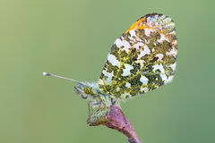 The orange tip - Anthocharis cardamines. A butterfly, the orange tip - Anthocharis cardamines Stock Photography