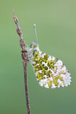 The orange tip - Anthocharis cardamines. A butterfly, the orange tip - Anthocharis cardamines Stock Image