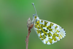 The orange tip - Anthocharis cardamines. A butterfly, the orange tip - Anthocharis cardamines Royalty Free Stock Image