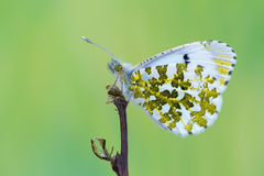 The orange tip - Anthocharis cardamines. A butterfly, the orange tip - Anthocharis cardamines Stock Photo