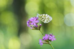 Orange tip Anthocharis cardamines resting on Sticky catchfly. Silene viscaria in the forest Royalty Free Stock Image