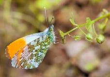 Orange Tip Butterflies Stock Photography