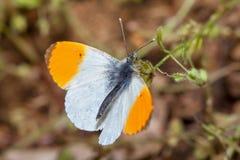 Orange Tip Butterflies macro image Stock Photo