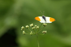 Orange tip butterfly. View of an orange tip butterfly on a flower against a blurred green background stock image
