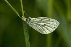 Orange Tip Butterfly. Recently emerged fresh female Orange Tip butterfly Stock Images