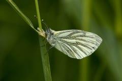 Orange Tip Butterfly. Recently emerged fresh female Orange Tip butterfly stock images