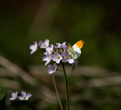 Orange-tip butterfly. Male Orange-tip butterfly on Lady's Smock flower stock photography