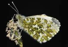Orange Tip Butterfly stock photo