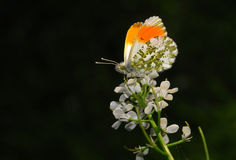 The orange tip butterfly Royalty Free Stock Images