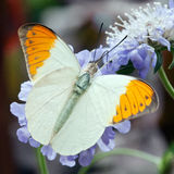Orange-tip butterfly Stock Images