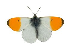 Orange tip butterfly. Male isolated on white royalty free stock photo