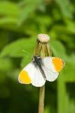 Orange Tip butterfly. An Orange Tip butterfly sunning itself on a old dandelion head stock photo