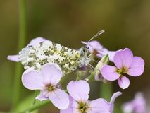 Female orange tip butterfly on flower. The orange tip butterfly Anthocaris cardamines female sitting on cuckooflower stock photos