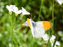 Orange tip butterfly male on flower. The orange tip butterfly Anthocaris cardamines male on cuckooflower stock photography