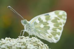 The orange tip butterfly Anthocharis cardamines royalty free stock photography