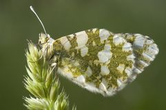 The orange tip butterfly Anthocharis cardamines. Stand on a spike royalty free stock photos