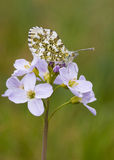 Orange Tip butterfly (Anthocharis cardamines). A female Orange Tip butterfly on a Cuckoo flower royalty free stock photography