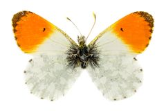 Orange-tip Butterfly Stock Photos