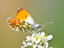 Orange Tip Butterfly. (Anthocharis cardamines) Feeding Nectar on White Bloosom royalty free stock images