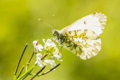 Orange tip butterfly anthocharis cardamines on garlic mustard flower. Orange tip butterfly anthocharis cardamines feeding on flowers of garlic mustard alliaria stock photography