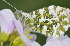 Orange Tip Butterfly Stock Image