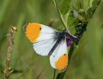 Orange Tip Butterfly. Anthocharis cardamines Male on Common Vetch - Vicia sativa stock image