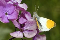 Orange Tip Butterfly royalty free stock photography