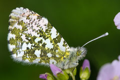 Orange-tip butterfly (Anthocharis cardamines) Royalty Free Stock Photos