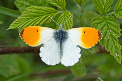 Orange-tip butterfly Anthocharis cardamines. Male orange tip butterfly Anthocharis cardamines on raspberry leaves Royalty Free Stock Image