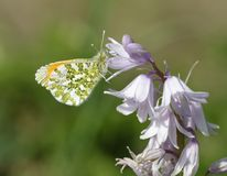 Orange Tip Butterfly royalty free stock photos