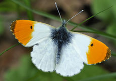 Orange Tip Butterfly. Anthocharis cardamines Male, wings open royalty free stock photo