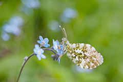Orange tip butterfly Anthocharis cardamines. Male orange tip butterfly Anthocharis cardamines on wood forget-me-not Myosotis sylvatica Stock Images