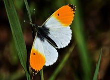 Orange tip butterfly, Anthocharis cardamines. Resting on grass on a spring day stock photos