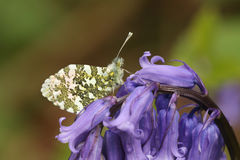 An Orange-tip Butterfly Anthocharis cardamines perched on a bluebell Hyacinthoides non-scripta. A pretty Orange-tip Butterfly Anthocharis cardamines perched on Stock Photos