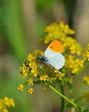 Orange tip butterfly. Or Antocharis cardamines royalty free stock photos