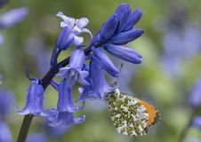 An orange tip butterfly on a bluebell on Southampton Common royalty free stock photography