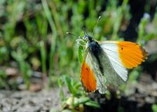 Orange tip butterfly. butterfly on a sunny meadow. spring butterflies. Orange tip butterfly. butterfly on a sunny meadow royalty free stock photography