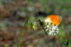 Orange tip butterfly. butterfly on a sunny meadow. spring butterflies. bright transparent wings. copy spaces. Orange tip butterfly. butterfly on a sunny meadow royalty free stock images