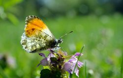 Orange tip butterfly. butterfly on a sunny meadow. spring butterflies. bright transparent wings. Orange tip butterfly. butterfly on a sunny meadow. spring royalty free stock photos