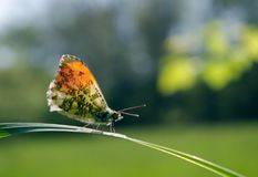 Orange tip butterfly. butterfly on a sunny meadow. spring butterflies. bright transparent wings. Orange tip butterfly. butterfly on a sunny meadow. spring royalty free stock photography