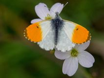 Orange tip butterfly. Close-up of an orange-tip butterfly stock images
