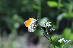 Orange-tip butterfly Royalty Free Stock Images