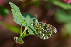 Orange-tip butterfly male Anthocharis cardamines underwing stock photography