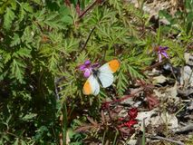 Orange tip butterfly in the moutains stock photo