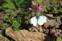 Orange tip butterfly. On the plant royalty free stock images