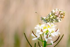 Orange tip Butterfly Resting on Cuckoo Flower royalty free stock photo